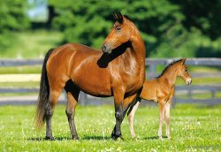 Mare and Foal - Konik i